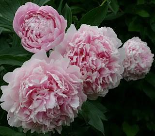 Paper Peony Roses