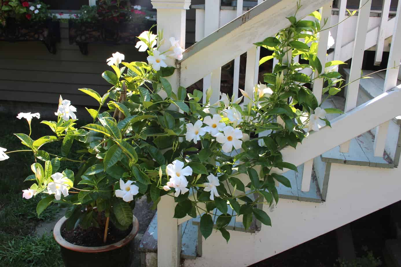 Mandevilla is a beautiful flowering, climbing plant that is lovely for deck stairs.