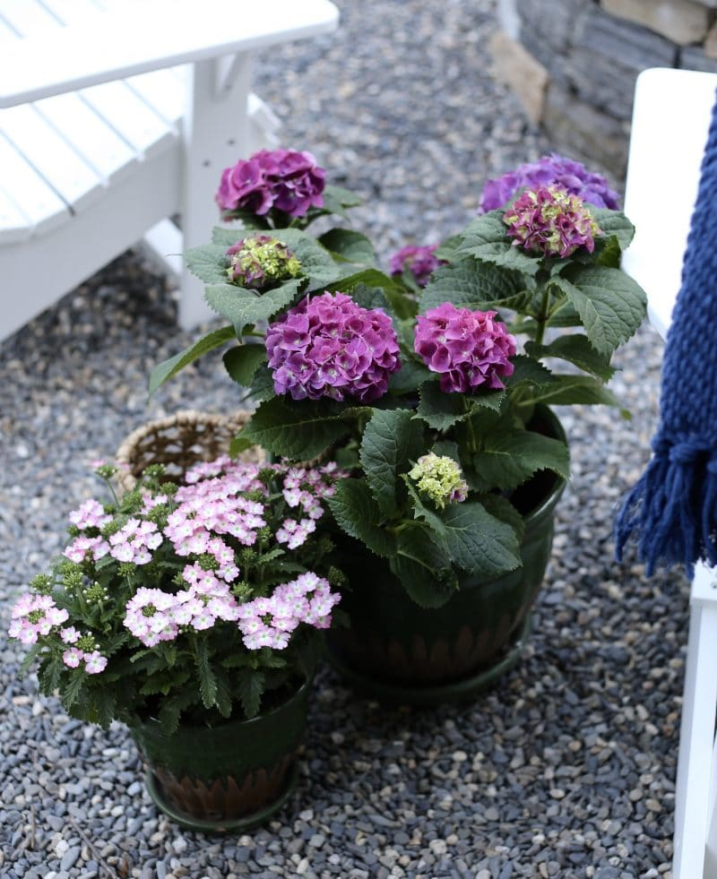 Potted hydrangea can be planted in the fall